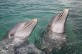 Dolphins in Honduras — Stock Photo