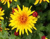 Yellow - red chrysanthemum — Stock Photo