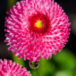 Pink daisy with dew drops — Stock Photo #80128842