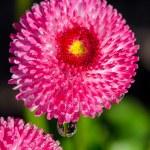 Pink daisy s kapkami Rosy — Stock fotografie #80128842