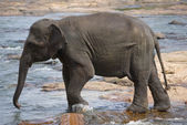 Young Elephant — Stock Photo