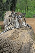 Ring-tailed lemurs sitting on a tree in a Zoo — Stock Photo