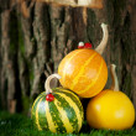 Small decorative striped pumpkins — Stock Photo #81161704
