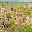 Постер, плакат: Saguaro cactus forest in the Sonoran desert of southern Arizona