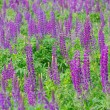 Bright purple and violet lupines field — Stock Photo #79873210