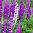 Bright purple and white lupines field — Stock Photo #79873268
