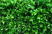 Green leaf tree — Stock Photo