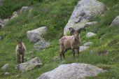 Horská koza — Stock fotografie