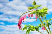 Red lyre-flower against blue sky with clouds — Stock Photo