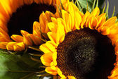 Tow sunflowers, close up — Stock Photo