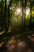 Germany, evening mood in forest — Stock Photo