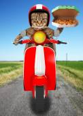 Funny cat. Pizza delivery — Stock Photo