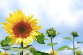 Close-up of sunflowers in field — Stockfoto