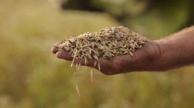 Homem derrama cereais combinam milho sobre o fundo da mão, pólvora, o — Vídeo stock