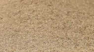 Combine Pours Cereals, Grains Pour From Top to bottom, pyramid, straw, dust, — Stock Video