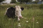 Cow ordinary — Stock Photo