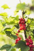 Fresh bio red currant — Stock Photo