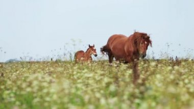 Mare with foal go on field — Stock Video