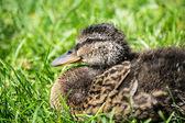 Baby duckling — Stock Photo