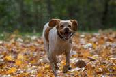 Running Puppy Dog in Autumn Leaves — Stock Photo