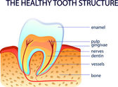 THE HEALTHY TOOTH STRUCTURE — Stock Vector