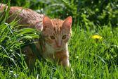 Rode kat in gras — Stockfoto