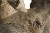 Rhinoceros close up — Stock Photo