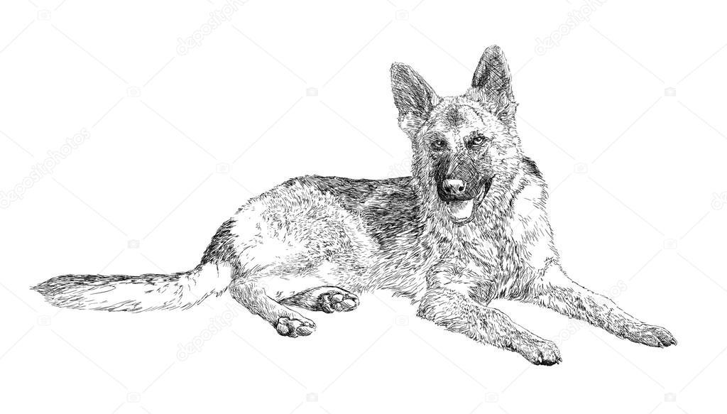 Berger allemand image vectorielle predragilievsi 82209164 - Dessin de chien berger allemand ...