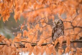 Höstens Uggla — Stockfoto