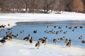 Geese at lake in winter — Stock Photo