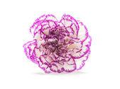 A Purple shade Carnation Flower — Stock Photo
