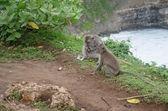 Wild monkeys sitting near the ledge in  Uluwatu, Bali, Indonesia. — Stock Photo
