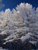 Snow covered trees on a cold day — Stock Photo