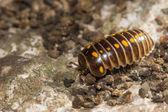 Armadillidium vulgare or pill bug — Stock Photo
