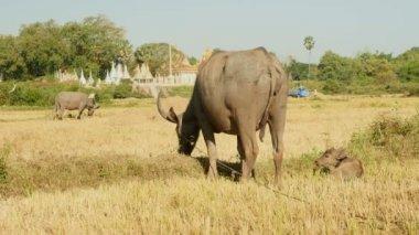 Buffalo grazing on field while a baby buffalo sleeps — Stockvideo