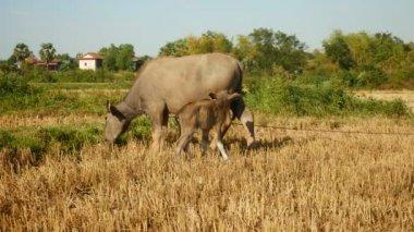 Buffalo and baby buffalo in a field — Vídeo de Stock