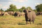 Tailandés buffalo en Pa Sak Dam en Lopburi, Tailandia — Foto de Stock