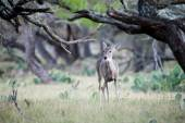 Doe in the Trees — Stock Photo