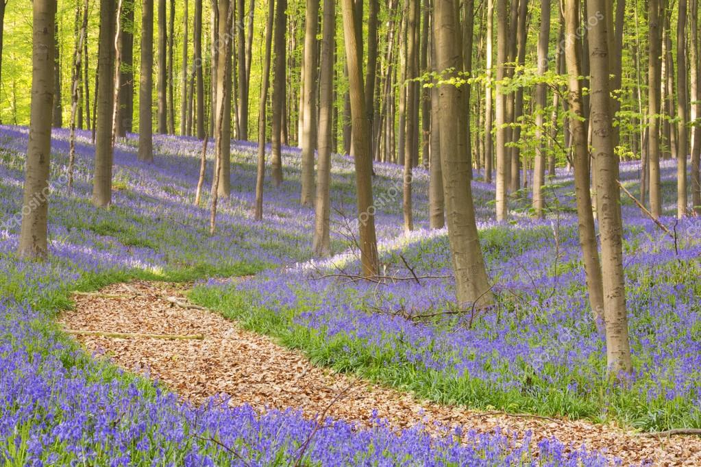 Фотообои Path through the blooming bluebell forest of Hallerbos in Belgium