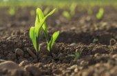 Young wheat seedlings — Stock Photo