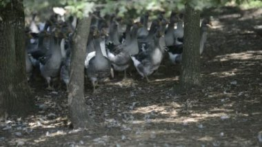 Perigord geese bred for the production of Foie Gras — Stock Video