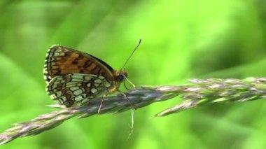 Vilda Heath pärlemorfjäril (Melitaea athalia) — Stockvideo
