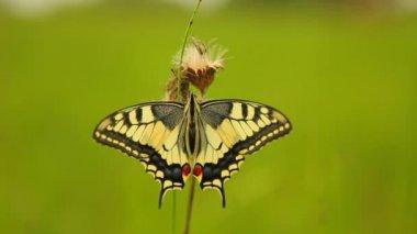 Swallowtail butterfly (Papilio machaon) — Stockvideo