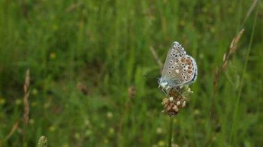 Vilda blå fjäril (Polyommatus bellargus) — Stockvideo