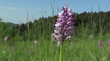 Vilda vackra lila orkidé (Orchis militaris), äng — Stockvideo