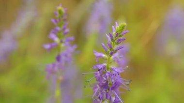 Vilda spetsade speedwell (Strandveronika spicatum subsp. spicatum) — Stockvideo