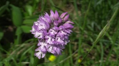 Wild orchid (Orchis tridentata) — Stockvideo