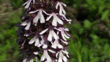 Vilda vackra lila orkidé (Orchis purpurea) — Stockvideo