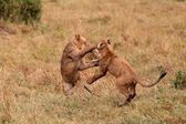 Lion cubs playing — Stock Photo