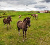 Authentic Icelandic horse, beautiful friendly animal — Stock Photo